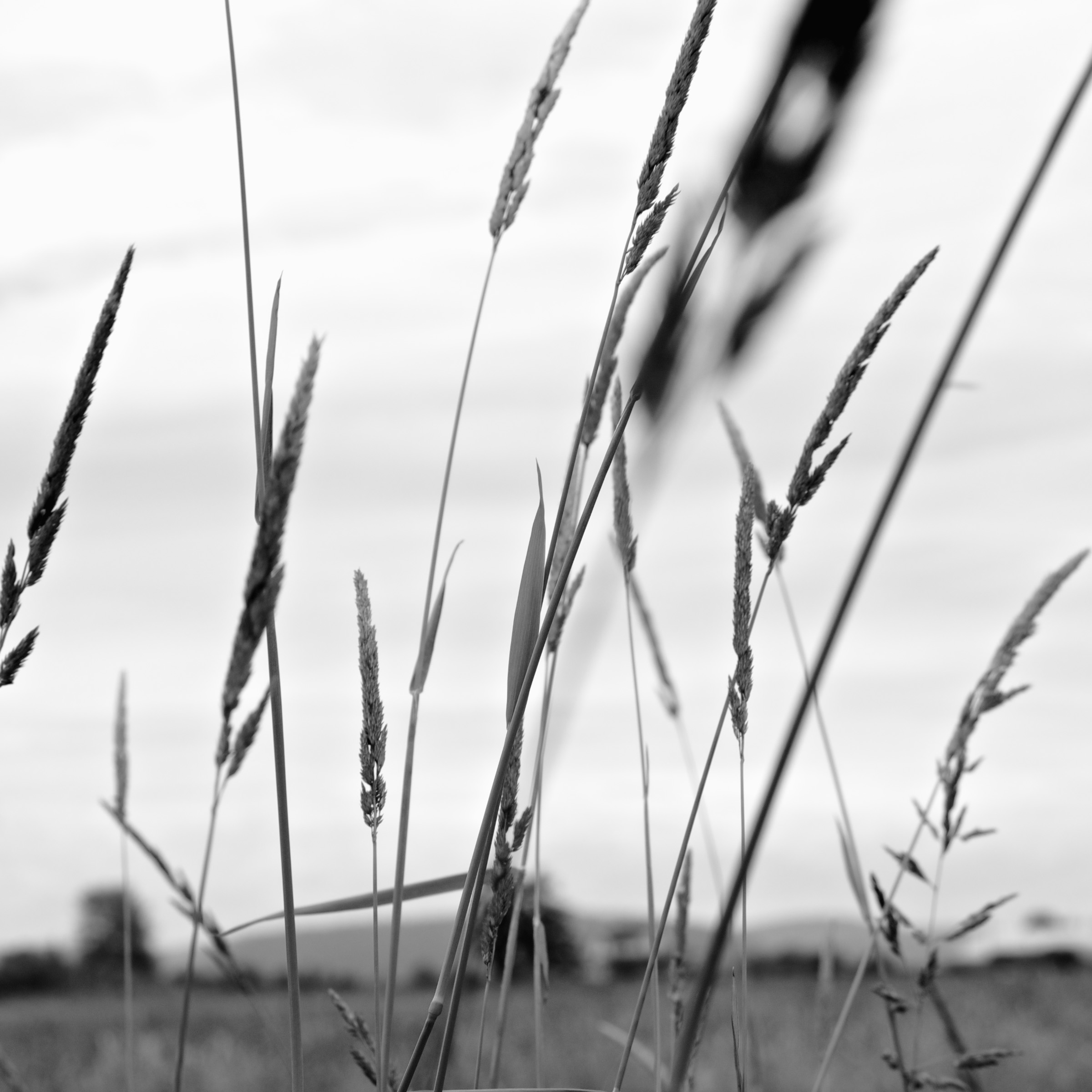 Wind Moves the Grasses